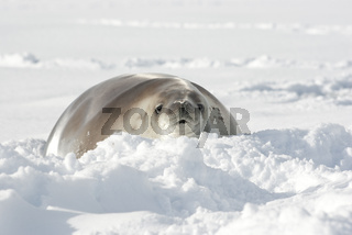 Crabeater seals lying in the snow.