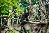 American black bear  on a tree.