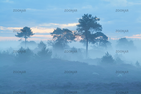 pine trees in dense fog