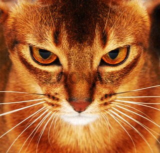 Abyssinian cat closeup