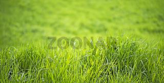 Zen Gras