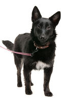 Portrait of black dog on studio white background