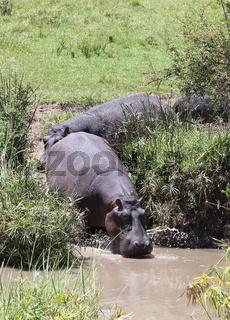 Hippos am Wasser