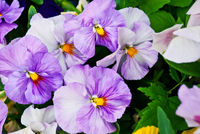Closeup-of-lilac-tinged-pansy-flowers-shallow-depth-of-field