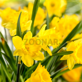 Close-up of yellow narcissus spring flower