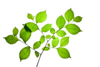 Twig-of-elm-with-green-toothed-leaves-isolated-on-white