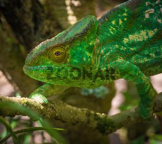 Colorful chameleon of Madagascar