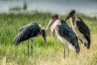 Three Marabou Storks