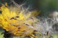 Löwenzahn und Pusteblume