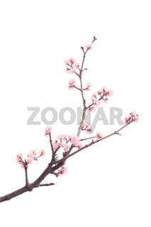 Spring tree with pink flowers