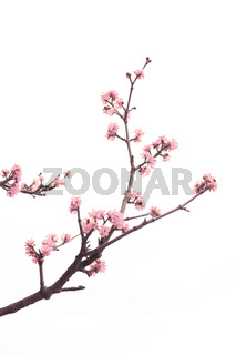 Spring tree with pink flowers detail