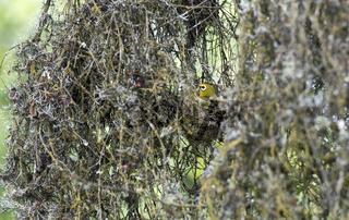 Brütender Bergbrillenvogel