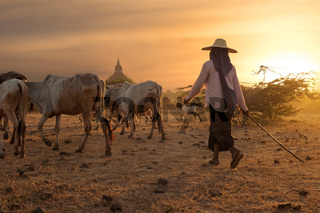 Burmese herder leads cattle at Bagan. Myanmar (Burma)