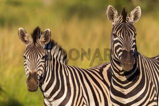 Zebra Wildlife