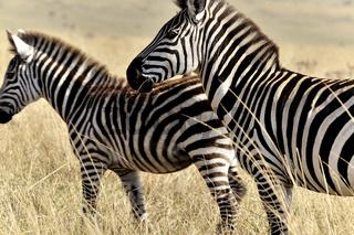 Zebras in der Masai Mara