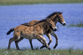 Exmoor-Pony - Fohlen spielen an einem Duenensee - (Exmoor Pony) / Exmoor Pony foals playing at a lake in the dunes / Equus ferus caballus