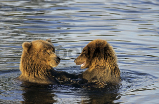 Grizzlybaerin  Jungtier spielen im Wasser - (Braunbaer) / Grizzly Bear sow  cub playing in water - (Grizzly - Brown Bear) / Ursus arctos - Ursus arctos (horribilis)