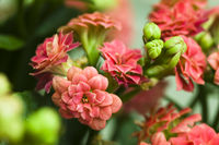 The close up of Kalanchoe bush
