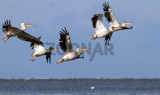 great pelicans ( pelecanus onocrotalus ) flying in danube delta