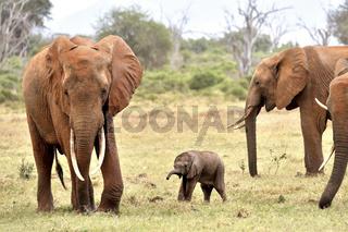 Junges Elefantenbaby spielt mit Familie