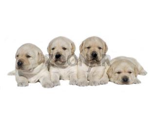 Yellow puppies hund