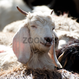 White kashmir (pashmina) goat from Indian highland farm in Ladakh