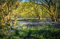 Blauglöckchen im Wald