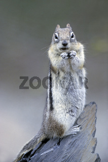Goldmantel-Ziesel beobachtet beim fressen den Fotografen - (Goldmantelziesel) / Golden-mantled Ground Squirrel feeding  looks toward to the photographer - (Golden Mantled Ground Squirrel) / Spermophilus lateralis - Callospermophilus lateralis