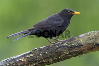 Amsel Maennchen sitzt im Regen auf einem Ast - (Schwarzdrossel) / Common Blackbird adult male sitting in rain on a branch - (Ouzel) / Turdus merula