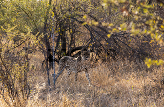 A Cheetah seen in the Tshukudi Game Reserve