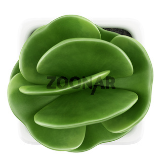 top view of houseplant in pot isolated on white background