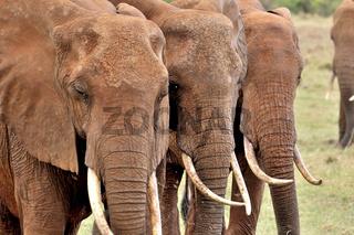 drei Elefantenköpfe und ihre Stoßzähne