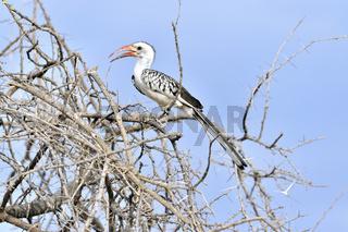 Rotschnabeliger Hornvogel, Rotschnabeltoko