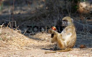 Steppenpavian, Gelber Pavian, Lower Zambezi Nationalpark, Sambia, Zambia; papio cynocephalus; savanna baboon