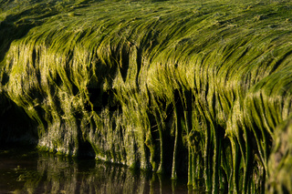 algen quer