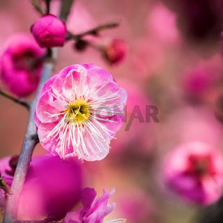 red plum blossom closeup