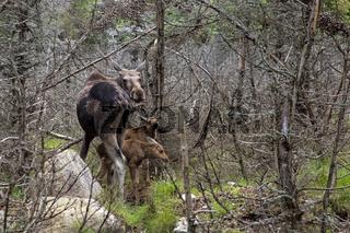 Europäischer Elch mit Jungtieren, Schweden, Europa / Alces alces