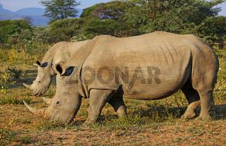 Breitmaulnashörner im Marakele-Nationalpark, Südafrika, white rhinoceroses, Marakele NP, South Africa, Ceratotherium simum