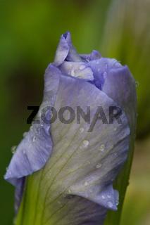 Schwertlilie lila Knospe
