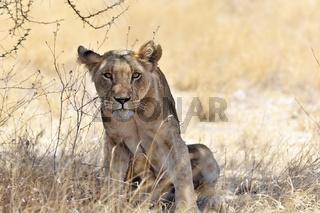 Neugieriger Löwe