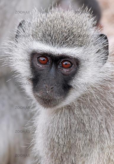 Grüne Meerkatze, Kruger Nationalpark, Südafrika; vervet monkey, Kruger National Park, South Africa