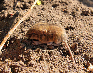little mouse