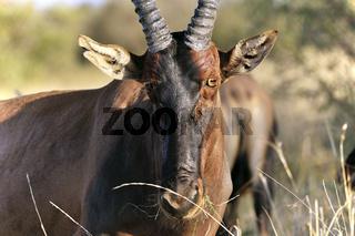 Gesicht einer Topi Antilope, Leierantilope