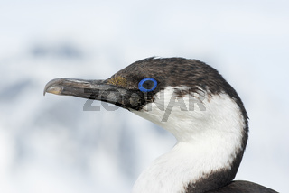 Portrait of a young Antarctic blue-eyed cormorants.