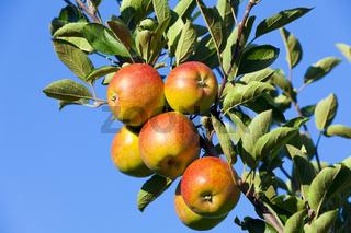 Nahaufnahme frische knackige Äpfel am Baum
