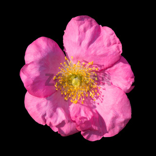 Wild rose isolated on black