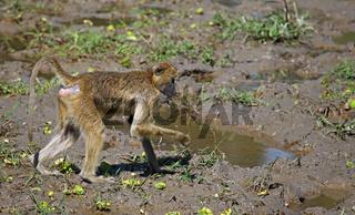 Steppenpavian auf Futtersuche, Gelber Pavian, South Luangwa Nationalpark, Sambia, Zambia; papio cynocephalus; savanna baboon