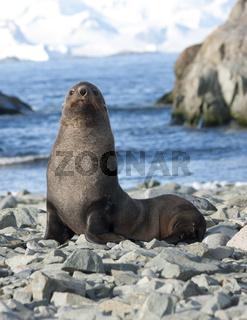 Fur seals on the beach in the Antarctic Ocean