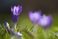 lila Krokusse in grüner Wise im Gegenlicht