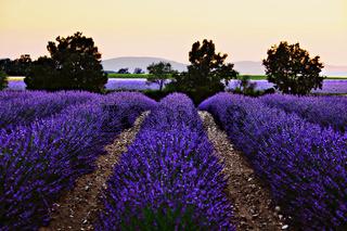 Lavendelfelder auf dem Plateau de Valensole, Provence, Frankreich